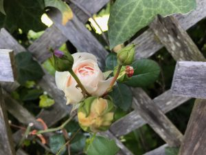 First rose of the season in my garden: Sombreuil