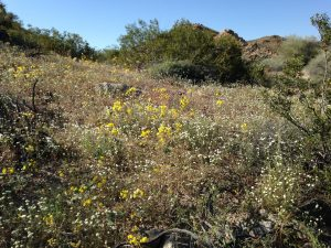 California's drought may be over, but the desert is in full bloom. (photos courtesy of Dr. Gail Dubinsky)