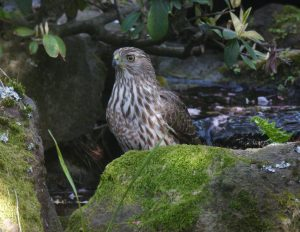 A back yard hawk looks for finches and voles in a San Francisco neighborhood (Photo by Tom Kuhn)