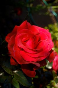 From my garden to moms everywhere: the rose 'Lasting Love'